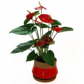 צמח האנטוריום