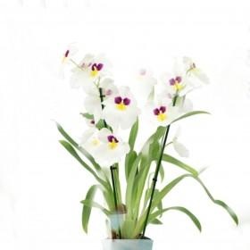סחלב Dendrobium nobile מיוחד