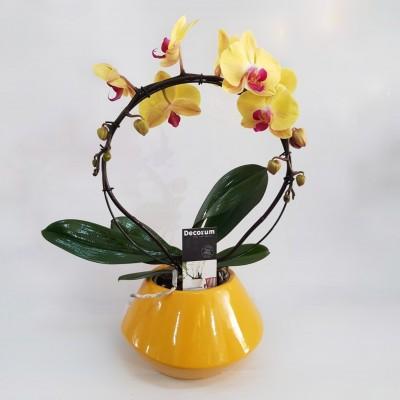 סחלב מסולסל בצבע צהוב